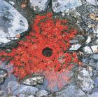 Andy Goldsworthy, Japanese maple/leaves stiched togehter to make a foating chain/the next day it became a hole supported underneath by a woven briar ring, Ouchiyama-Mura, Japan (1987)